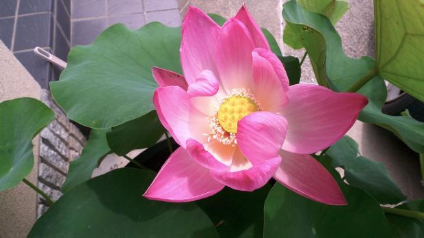 3年越しの蓮、6月23日に開花