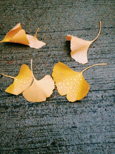 雨粒といちょうの葉